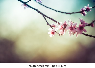 Beautiful blooming peach trees in spring on a Sunny day. Soft focus, natural blur