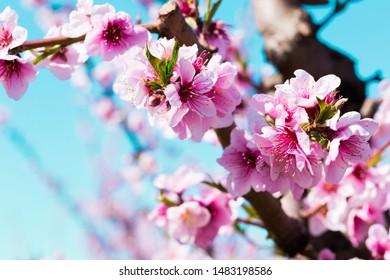 beautiful blooming peach trees in spring