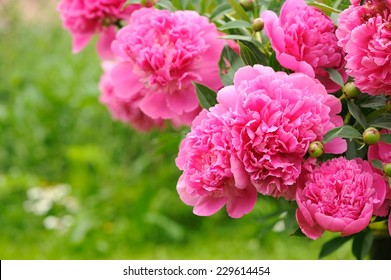 A beautiful blooming peony bush with pink flowers in the garden �¢?? horizontal orientation