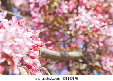 Beautiful blooming pink apple tree in Dobele, Latvia