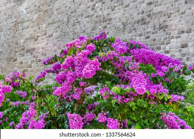 Beautiful blooming pink bougainvillea flowers with an old textured stone wall in the background.