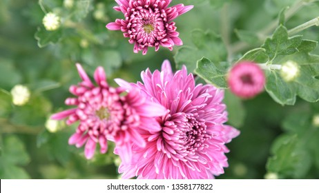 Beautiful blooming pink flowers in the garden. Summer time