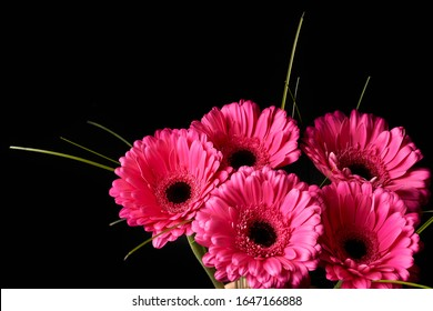 Beautiful blooming pink gerbera daisy flower on black background. - Shutterstock ID 1647166888