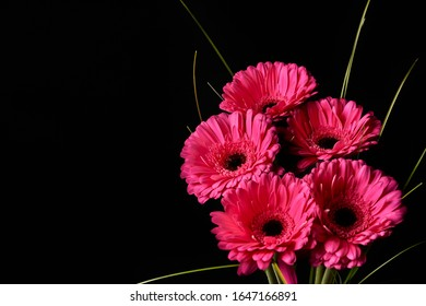 Beautiful blooming pink gerbera daisy flower on black background. Close-up photo. - Shutterstock ID 1647166891