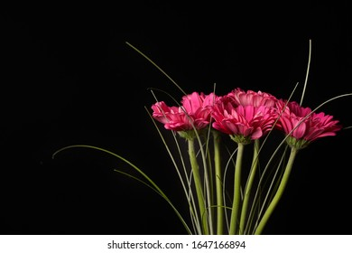 Beautiful blooming pink gerbera daisy flower on black background. Close-up photo. - Shutterstock ID 1647166894