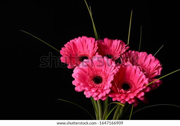 Beautiful blooming pink gerbera daisy flower on black background.