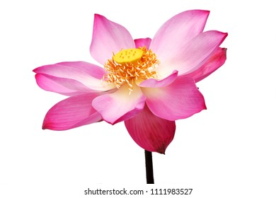 beautiful blooming pink lotus flower isolated on white background.