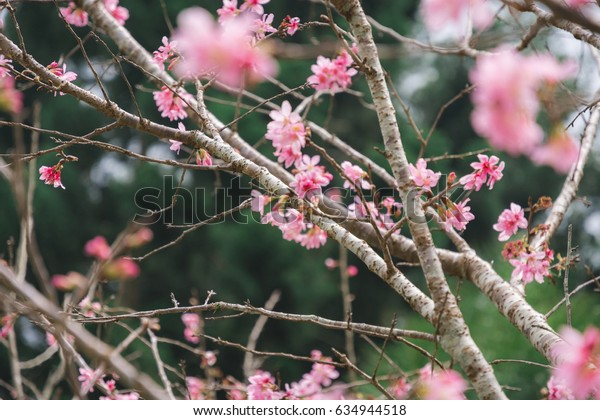 beautiful blooming pink sakura flowers (Yaezakura) are in front of soft natural background, Taiwan.