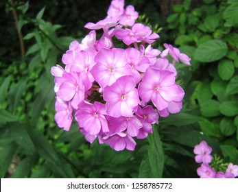 beautiful blooming plant flower phlox with pink petals