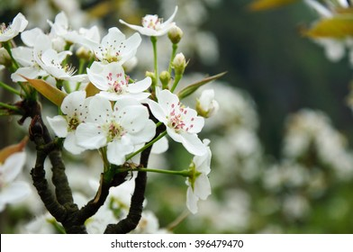 The beautiful blooming plum flowers in spring