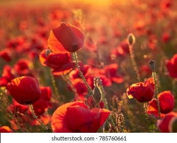 beautiful blooming poppies in the summer sunset light
