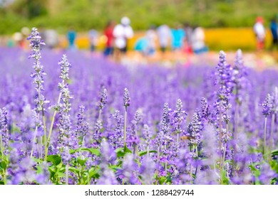 Beautiful Blooming Purple Salvia (Blue sage) flower field in outdoor garden.Blue Salvia is herbal plant in the mint family. - Image