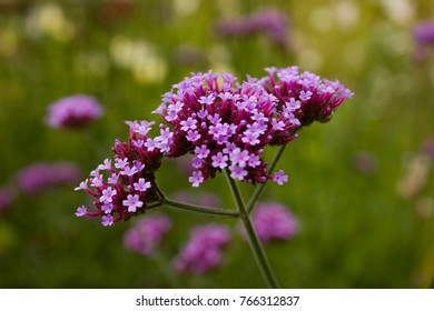 Beautiful blooming purple Verbena bonariensis, also know as purpletop or Argentinian vervain, tall verbena. Close up of violet verbena flower in garden. Verbena in field on blurred floral background.