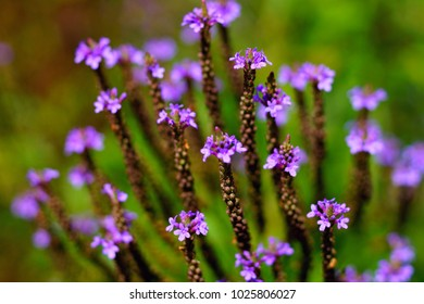 Beautiful blooming purple Verbena hastata, also know as purpletop or Argentinian vervain, tall verbena. Close up of violet verbena flower on green meadow. Verbena in field on blurred background.