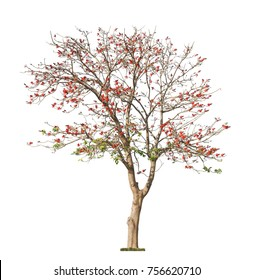 Beautiful blooming red coral tree isolated on white background. Erythrina variegata tree of Western Australia