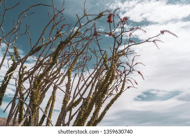 Beautiful blooming and red flowering Ocotillo plant cactus in Anza Borrego Desert State Park in California during spring