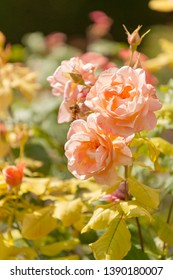 Beautiful blooming roses in famous Claude Monet garden in Giverny, Normandy, France
