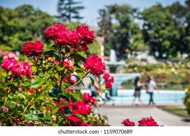 Beautiful blooming roses; people and water fountain visible in the blurred background; San Jose Municipal Rose Garden, south San Francisco bay area, California