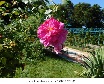 beautiful blooming roses with pink petals