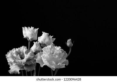 Beautiful blooming, soft lit monochrome fringed Lisianthus Corelli (botanical: Eustoma) . Shot against a dark, slightly lit background with copy space.