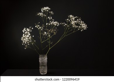 Beautiful blooming, soft lit still life annual gypsophila (botanical: Gypsophila muralis) in a modernistic glass vase . Shot against a dark background.