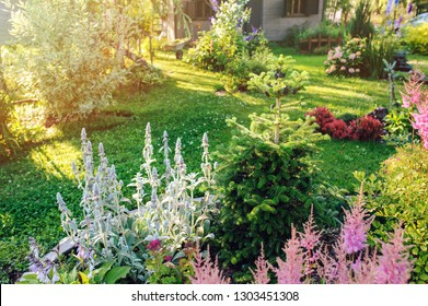 beautiful blooming summer garden in english cottage style. Flower bed with astilbe, stachys, abies koreana and other perennials