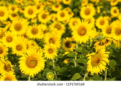 beautiful blooming sunflower field, near the dam, agriculture plant in Lop buri Thailand