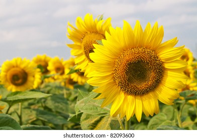 Beautiful blooming sunflower on a background field of sunflowers and the sky
