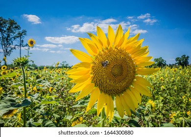 Beautiful blooming Sunflower that sticks up high in a field of bright sunflowers on a sunny afternoon with a bright blue sky and a bumblebee at the center of the flower pollinating.