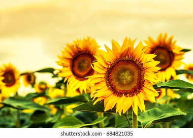 Beautiful blooming sunflowers against the yellow sky.