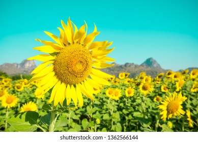 Beautiful blooming sunflowers in field farming garden with clear sunny day blue sky background in the summer morning, Thailand. Sunflowers oil is the non-volatile oil from seeds.