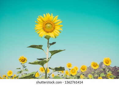 Beautiful blooming sunflowers in field farming garden with clear sunny day blue sky background in the summer morning, Thailand. Sunflowers oil is the non-volatile oil from seeds. Vintage tone