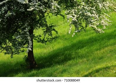Beautiful blooming tree