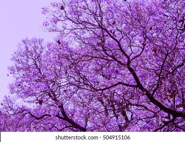 Beautiful  blooming violet branches of Jacaranda. Brooklyn. Pretoria. Spring in South Africa. Artistic retouching.