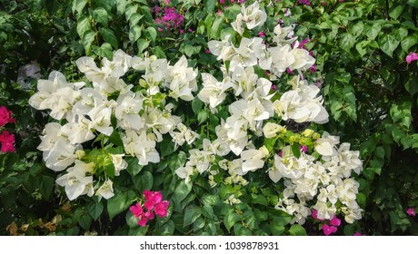 Beautiful blooming white bougainvillea flower. Ornamental climbing plant that is widely cultivated in the tropics.