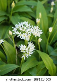 Beautiful blooming white flowers of ramson - wild garlic (Allium ursinum) plant in homemade garden. Close-up. Organic farming, healthy food, BIO viands, back to nature concept.