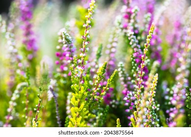 Beautiful blooming white and pink heather in a forest clearing at sunny day. Small lilac purple flowers. Flowering, gardening, floristry, horticulture. Calluna vulgaris on green blurry background.