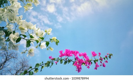 Beautiful blooming white and purple bougainvillea flower. Ornamental climbing plant that is widely cultivated in the tropics.
