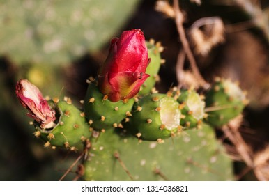 Beautiful blooming wild cactus flower