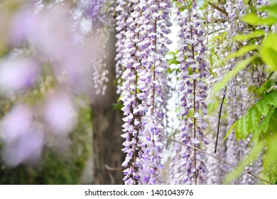 Beautiful blooming wisteria tree with cascade of purple delicate flowers, selective focus, blurred flower at front. Pink wisteria flowers with green leaves on the branch. Spring time blossom
