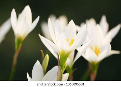 beautiful blooming Zephyranthes grandiflora flower