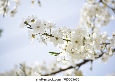 Beautiful blossom cherry.