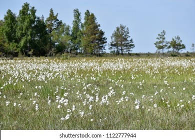 Beautiful blossom cotton grass field at the swedish island Oland