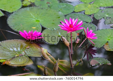 Beautiful Blossom Lotus Flower Thailand Stock Photo Edit Now