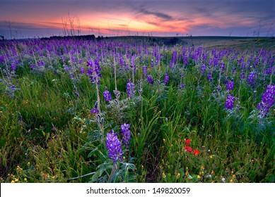 Beautiful blossom of lupines in North of Israel.