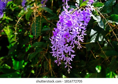 Beautiful blossom Petrea volubilis (Purple Wreath flower) flower with blurred background.