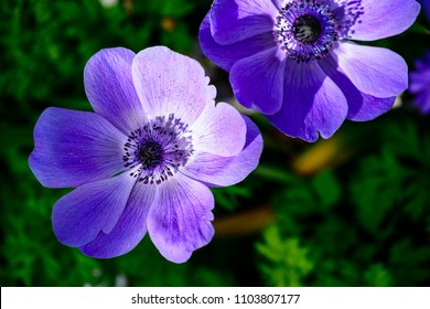 Beautiful blossom purple anemone flowers, selective focus