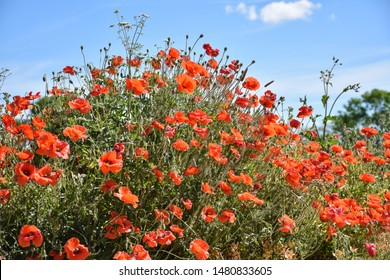 Beautiful blossom red poppies summer flowers by a blue sky