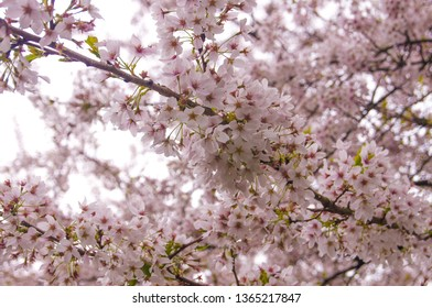 Beautiful blossom tree in the spring season. a nice flower on a branch. a lot of light pink cherry blossom on tree in Japanese park, Amstelveen, Amsterdamse bos, The Netherlands