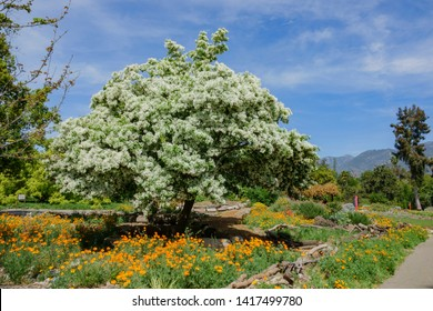 Beautiful blossom of white Chionanthus virginicus at Los Angeles, California